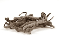 Cordyceps sinensis works like hCG
