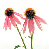 Study: Echinacea helps against colds