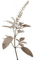 Testosterone levels go off the scale with holy basil