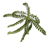 Phyllanthus amarus supplement protects against sore muscles