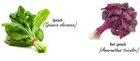 Red spinach, a natural NO booster