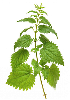 Animal study | Eat stinging nettles as a vegetable, and lose body fat